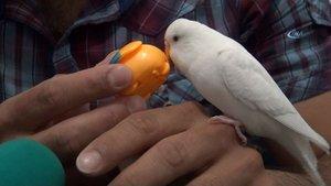 'İhlas Suresi' ile birlikte 3 dilde yaklaşık 60 kelime konuşan muhabbet kuşu