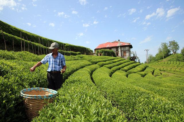 Kilosu 4 bin 500 lirayı bulan beyaz çay üretimi, talepleri karşılamadı