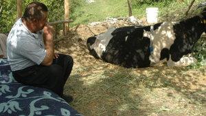 Kahramanmaraş'ta inek nöbeti