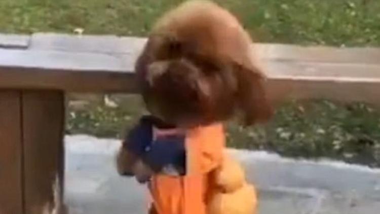 İki ayağı üzerinde yürüyen köpeğin görüntüleri kısa sürede internette popüler oldu.