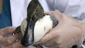 Kaşıkgaga ördeği tedavi altına alındı