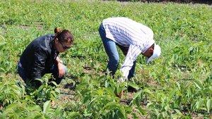 Bandırma'dan 1 milyon ceviz fidanı ihracatı gerçekleşiyor
