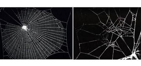 Uyuşturucu madde verdikleri örümceğin ağları şaşırttı!