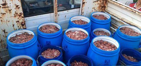Aydın'da 5 ton domuz eti imha edildi