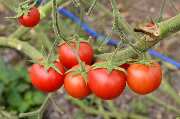 Tüketici en çok hangi domatesi tercih ediyor?