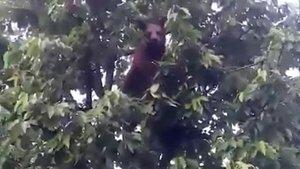 Bursa'da bir kişi kiraz ağacına çıkan ayıyı cep telefonuyla görüntüledi