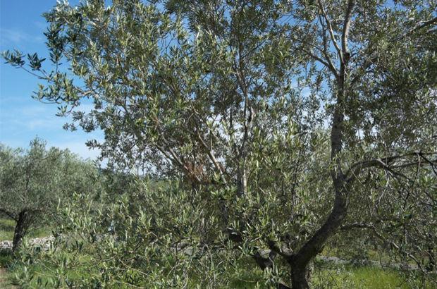 Tek ağaç da olsa zeytinlik kalacak