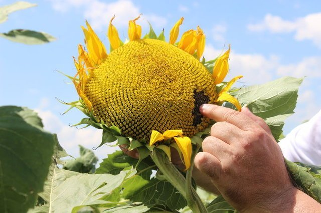 Yağlık ayçiçeği üreticileri verimden memnun