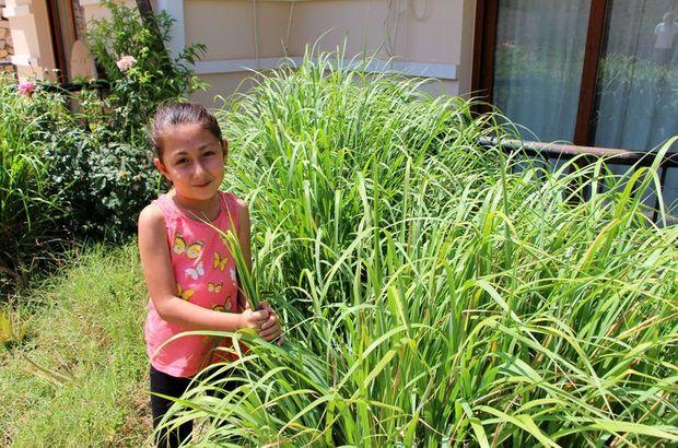 Tayland'dan cüzdanında getirdiği limonotunu bahçesinde yetiştirdi