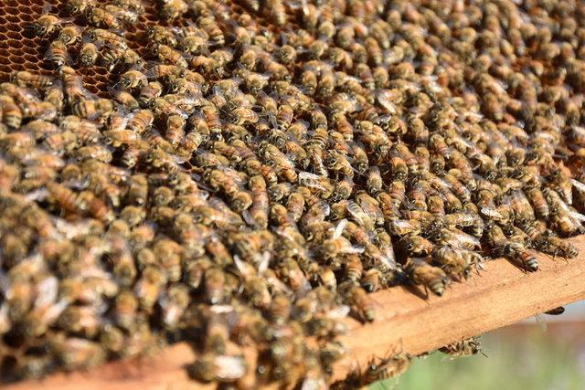Bal arıları yaylalara çıkmaya başladı