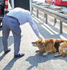 Çaresizce kurtarılmayı bekleyen köpek, sürücü tarafından hayvan barınağına götürüldü