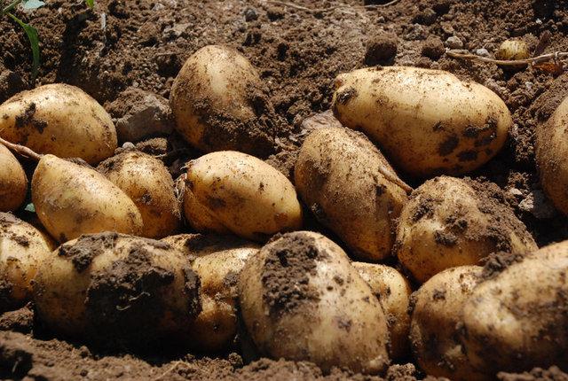 Niğde'de patates 55 kuruştan alıcı buluyor