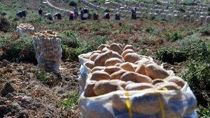 Patatesin fiyatı 80 kuruştan 20 kuruşa düştü