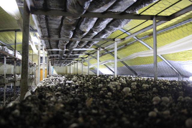 Kültür mantarı üretimi köye, yılda 12 milyar lira kazandırıyor