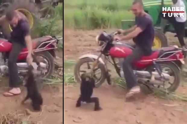 Motosikletten inince çılgına dönen maymun kamerada