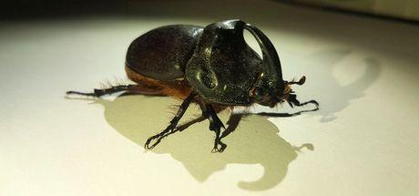 Çanakkale'de bir kişi bahçesinde gergedan böceği buldu