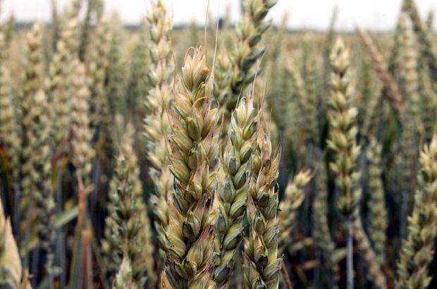 TMO 2017 ekmeklik buğday fiyatının ton başına 990 TL olduğu açıkladı
