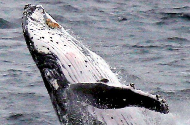 Yaşattığı balina onu öldürdü
