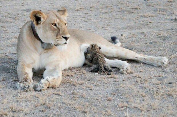 Leoparı emziren aslan tebessüm ettirdi