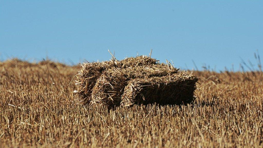 Saman deyip geçmeyin! Arpa ve buğdayla yarışıyor