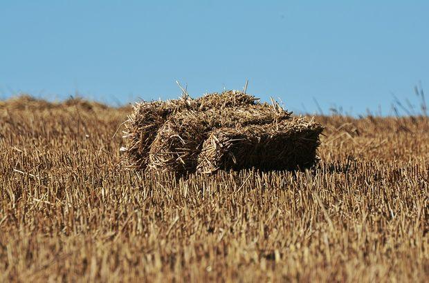 Saman fiyatları arpa ve buğdaya yaklaştı