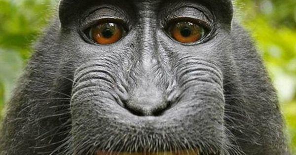Gülen maymun iflas ettirdi