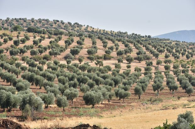Kilis'in ilk zeytinyağı ihracatı Katar'a