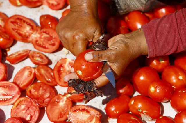 Torbalı ovasından dünyaya kurutulmuş domates