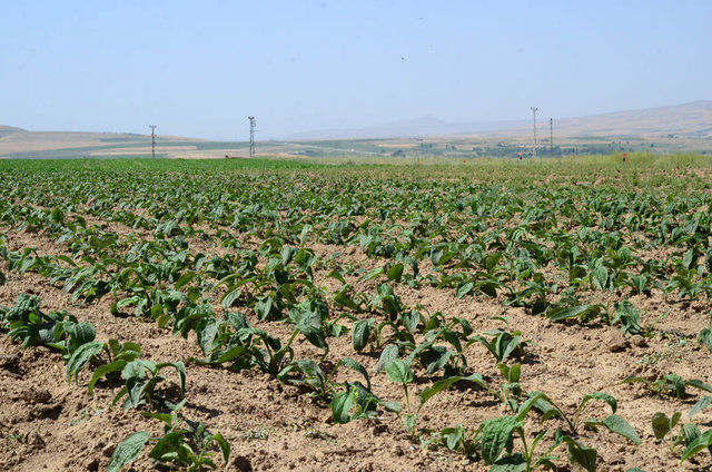 Tıbbi ve aromatik bitkiler üreticisine yaklaşık olarak 4 bin lira kazanç sağlayacak
