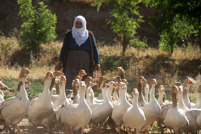 Kaz çiftliği kuran yaşlı kadın, kazları 150 TL'den satıyor