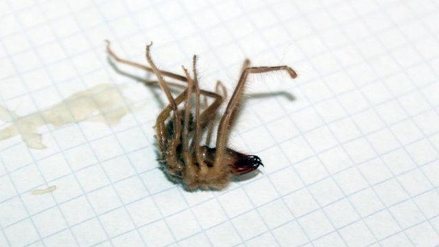 Kayseri'de et yiyen Sarıkız örümceği görüldü