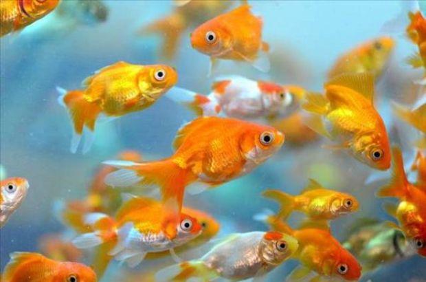 Japon balıkları alkol üretiyor