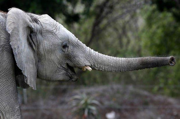 Arjantinli avcı bir fil tarafından ezilerek öldürüldü
