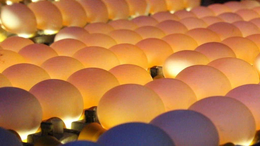Yumurta üretimini yasakladılar