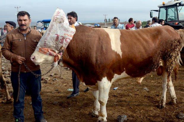 33 kilo yemle beslendi 35 bin liradan satılacak