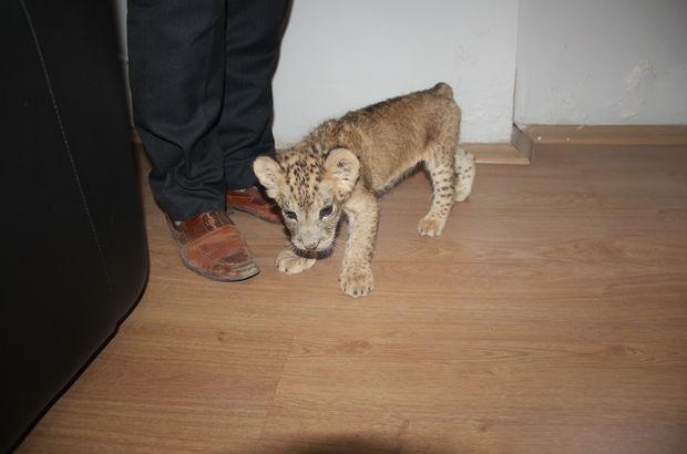Şırnak Cizre'de bulunan yavru aslan koruma altında