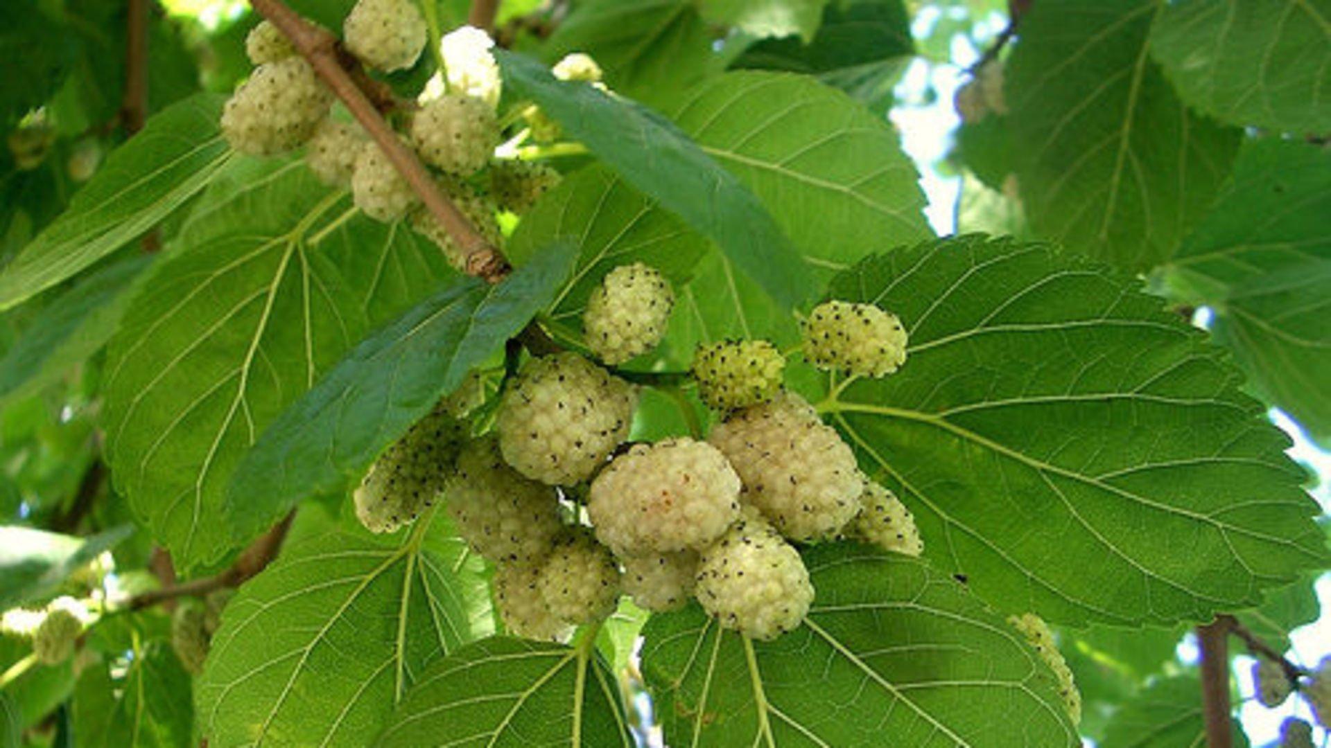 Boğaz Ağrısına İyi Gelen Bitki Ve Meyveler