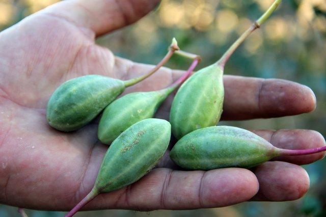 Doğada kendiliğinden yetişen kaparinin kilosu 10 liradan satılıyor