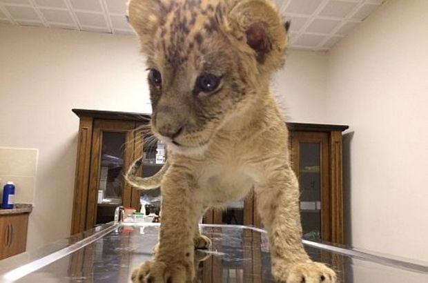 Cizre'de aracından yavru aslan çıkan kişinin verdiği ifade şaşkına çevirdi