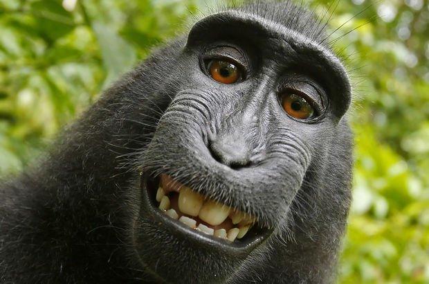 Maymunun çektiği 'selfie' davalık oldu, fotoğrafçı kazandı