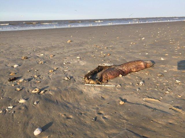 Harvey kasırgası sırasında karaya vuran deniz canlısı