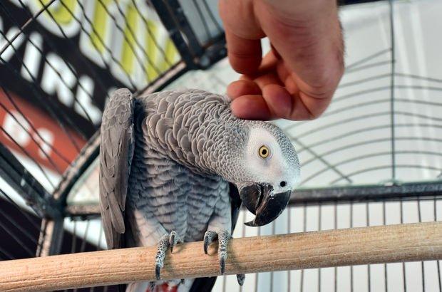 papağan, Alanya, çalıntı