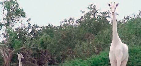 Ender rastlanan zürafa hayranlık uyandırdı