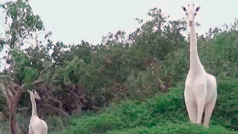 beyaz zürafa