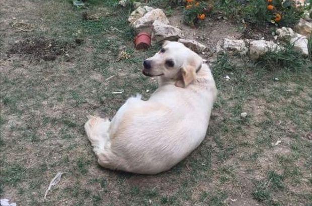 Köpek hırsızlığı Pamuk köpek