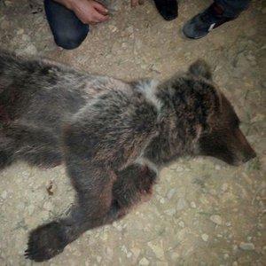 Yavru ayıyı silahla vurarak öldürdüler!