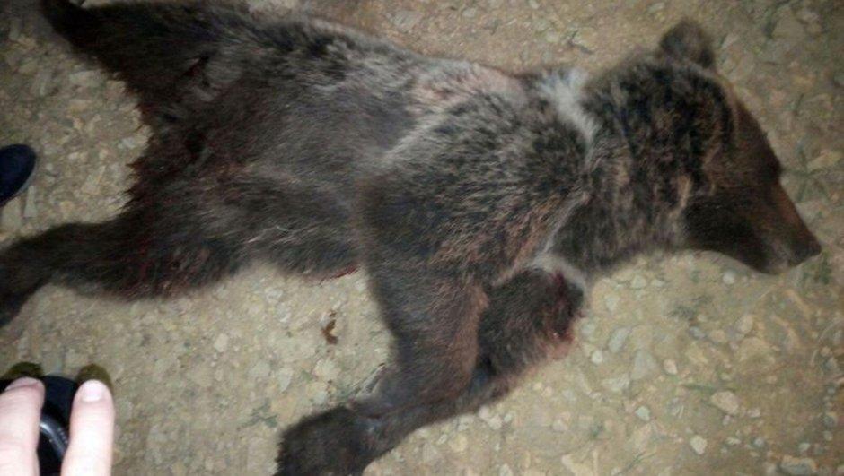 yavru ayı Karabük Safranbolu