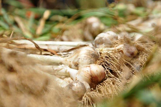 Dibe vuran sarımsak fiyatı üreticiyi zora soktu