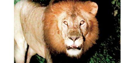 Etiyopya aslanını ilk kez görüntüledi
