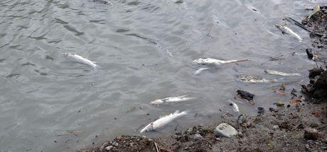 Zonguldak'ta balık ölümleri